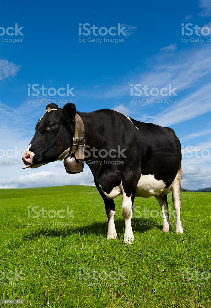 Cow Sticking its Tongue Out stock photo