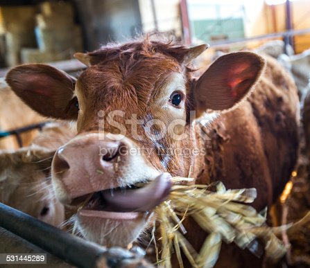 Cow sticks its tongue out in the stable. It's like the Laughing Cow
