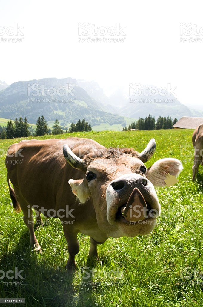 cow sticking out tongue stock photo