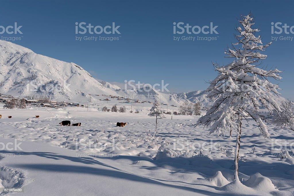 Cow under snow looking for grass. Winter rural scene. photo libre de droits