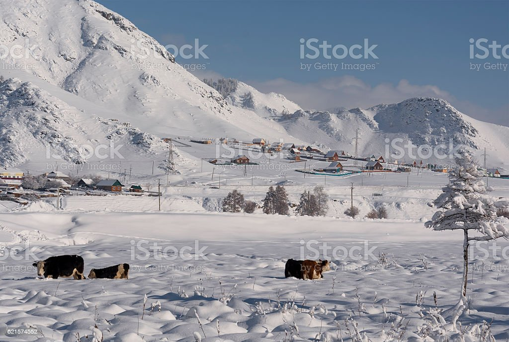Cow under snow looking for grass. Winter rural scene. photo libre de droits
