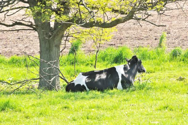 Kuh unter Baum – Foto