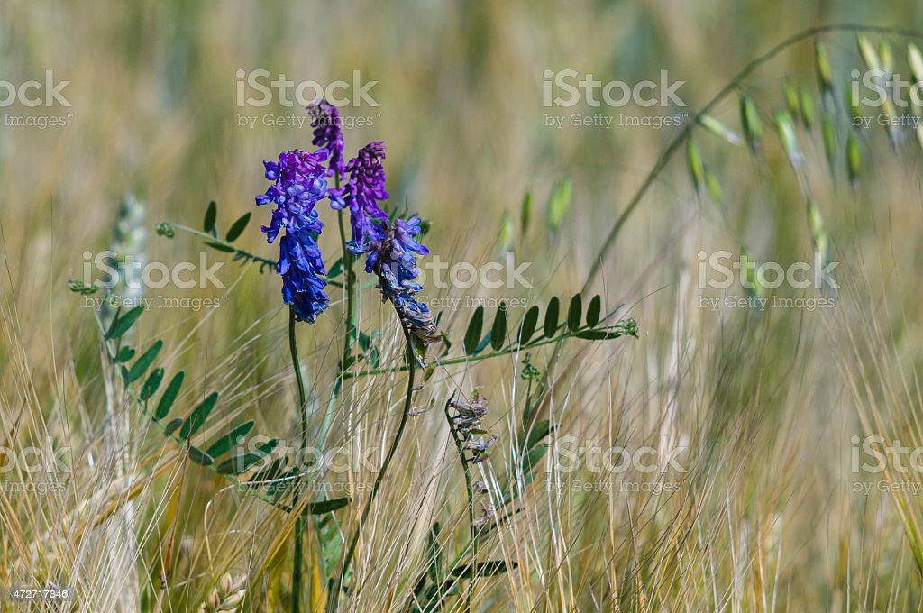 Cow vetch (Vicia cracca) flowers in a field closeup stock photo