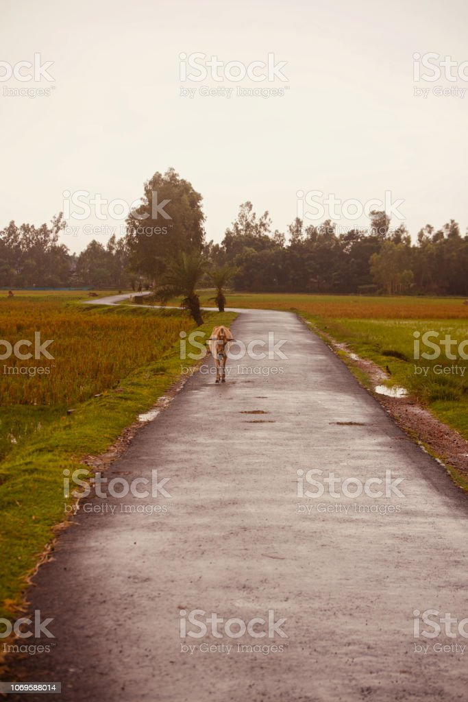 A cow walking around an urban road stock photo