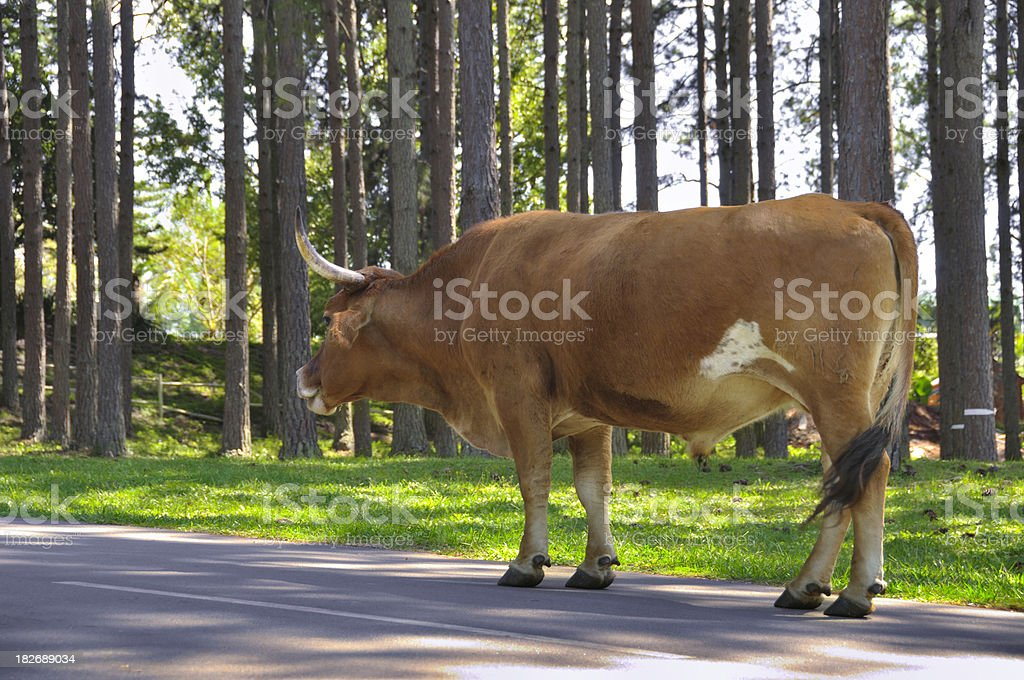 Cow walking in the street royalty-free stock photo