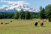 Cows in a meadow near Parkdale, Oregon.  Parkdale is in the shadow of Mt Hood.