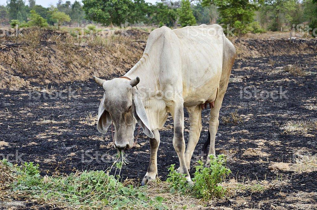 Cow, white grass, tropical royalty-free stock photo