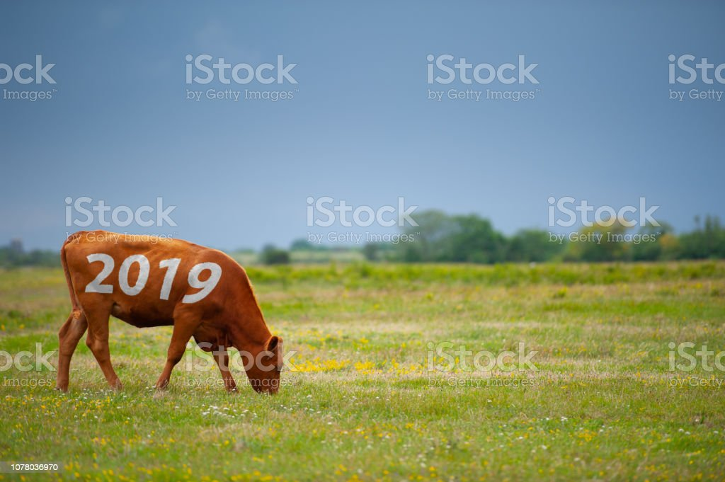 Cow with 2019 year sign eating on field stock photo