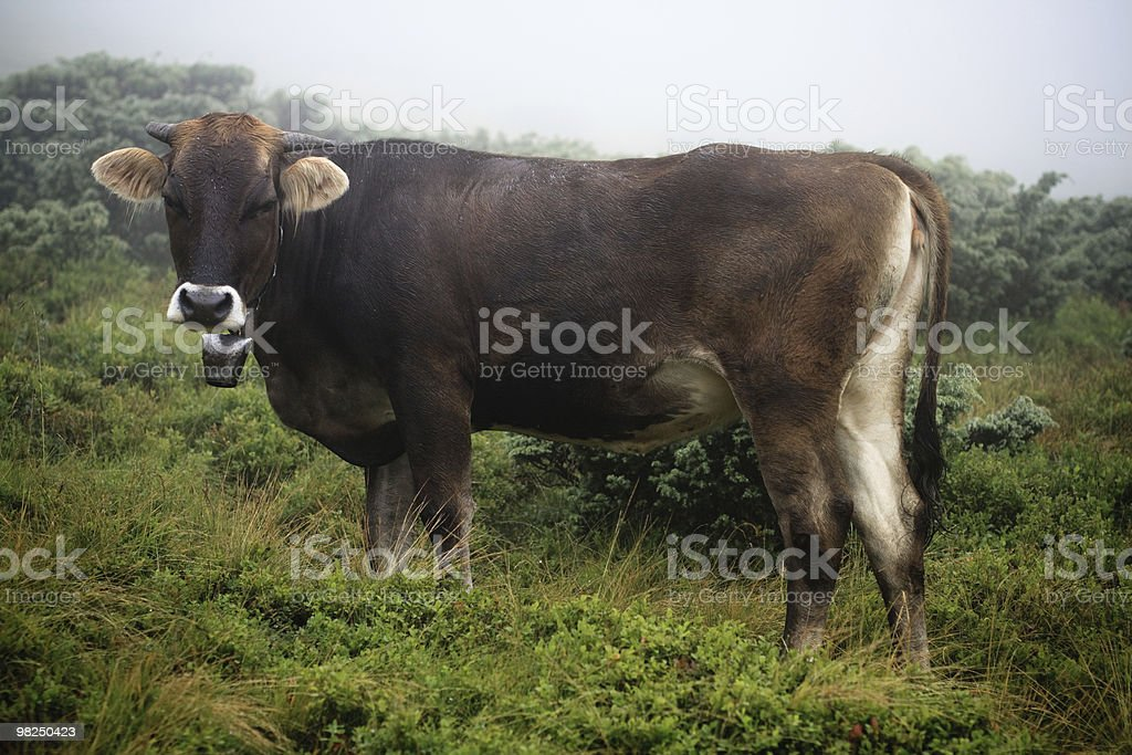 Cow with a bell royalty-free stock photo