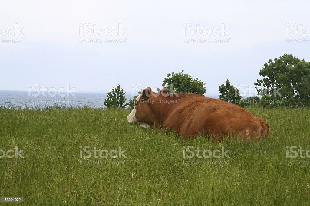 Cow with a view in Southern Jutland, Denmark royalty-free stock photo