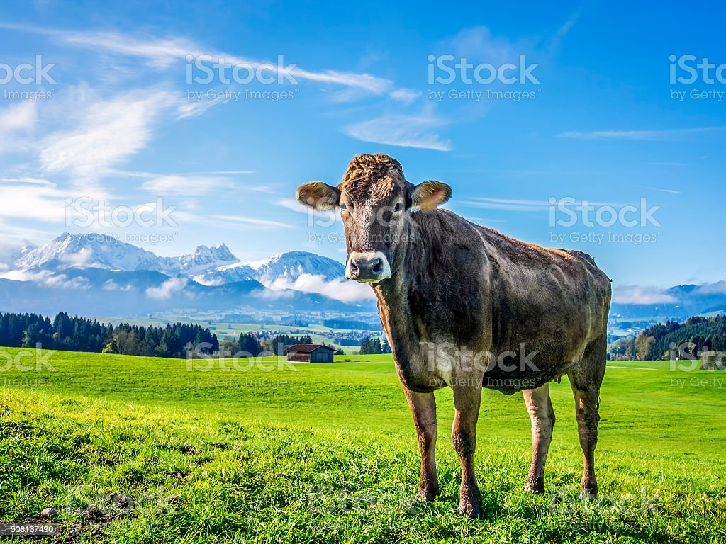 cow with alps stock photo
