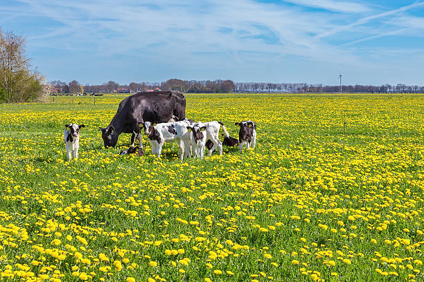 Cow with calves grazing in meadow with dandelions stock photo