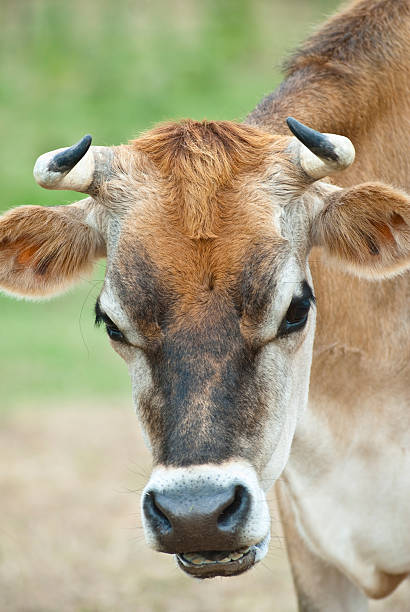 cow with cud-chewing action - cud stock pictures, royalty-free photos & images