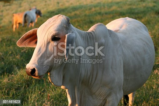cow in colombia