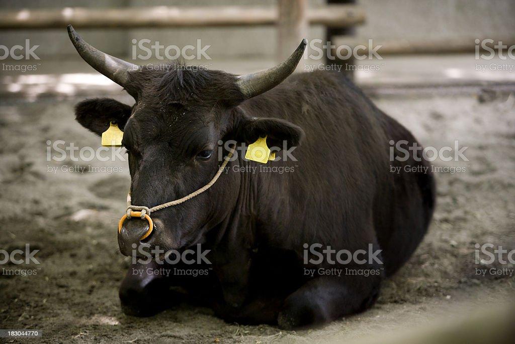 cow with eartag royaltyfri bildbanksbilder
