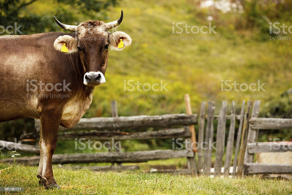 Cow with empty eartag royalty-free stock photo
