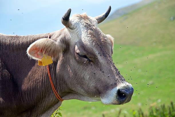 Kuh mit Fliegen – Foto