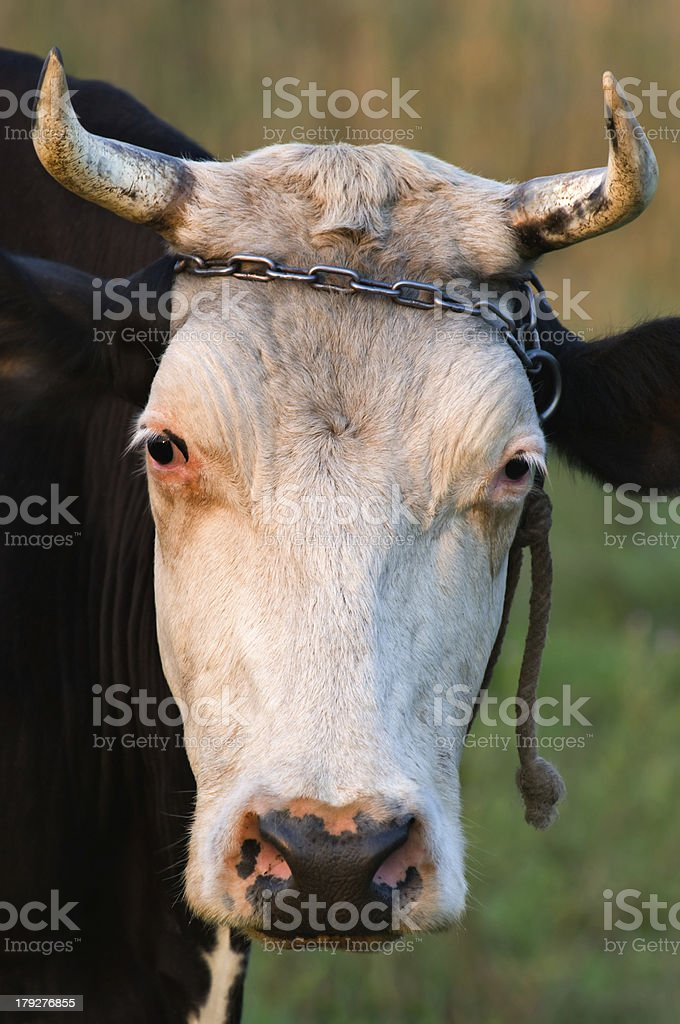 Cow with horns royalty-free stock photo