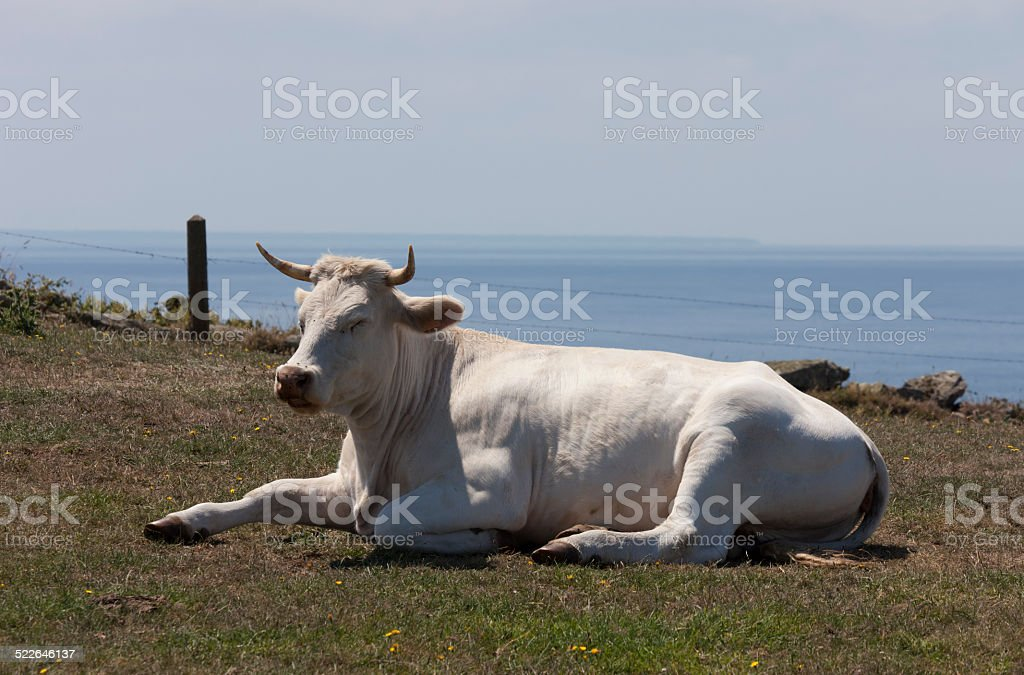 Cow with horns relaxing on meadow stock photo