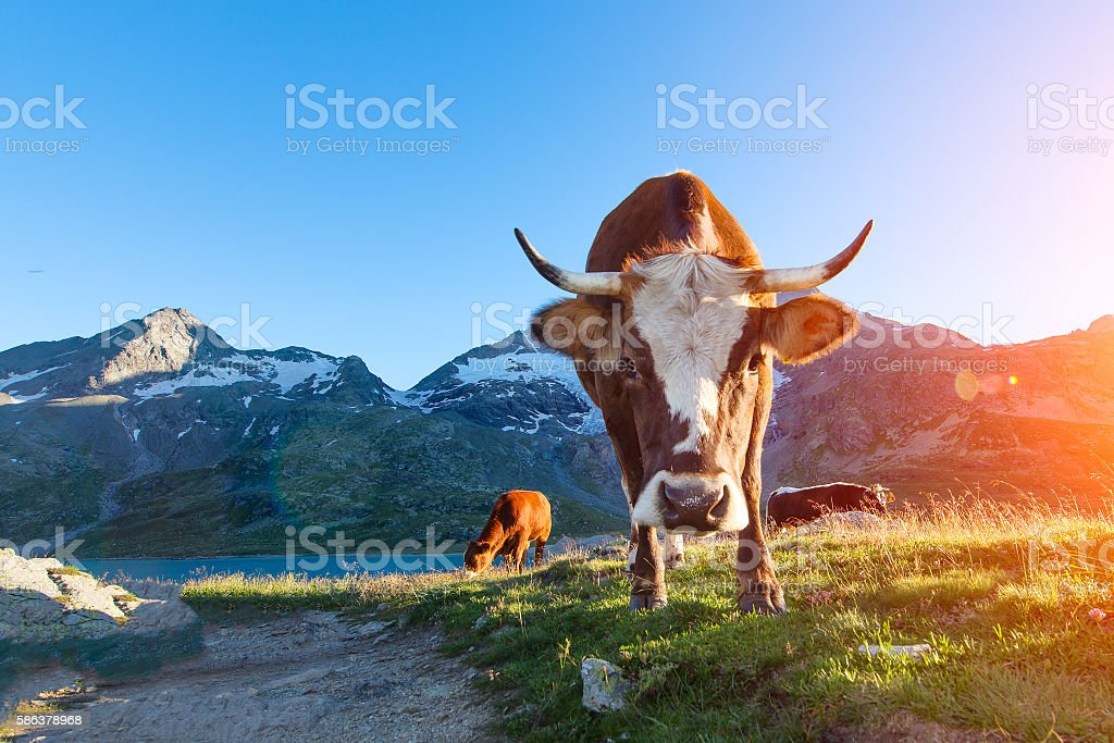 Cow with long horns grazing in the mountains to sun Lizenzfreies stock-foto