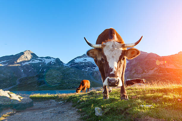 Cow with long horns grazing in the mountains to sun stock photo
