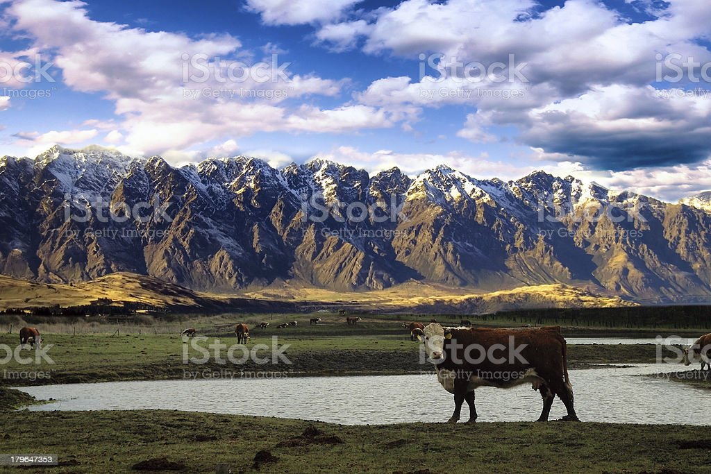 Cow with mountain background royalty-free stock photo