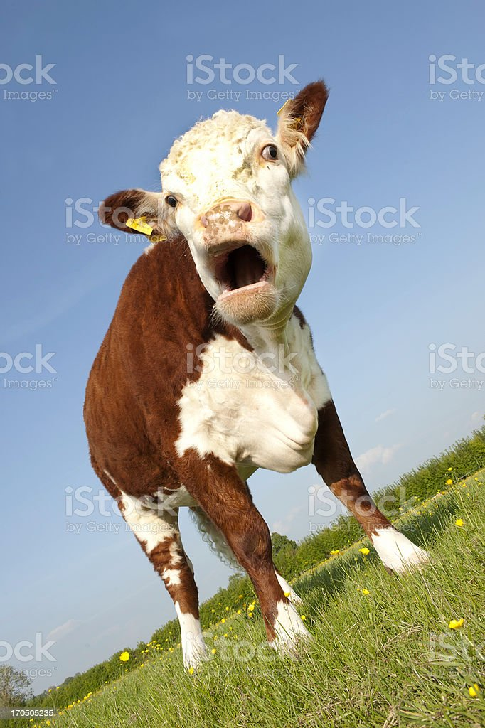 Cow with mouth open stock photo