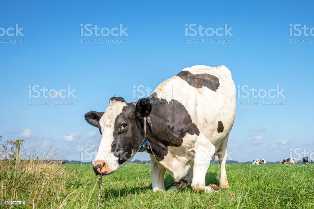 Cow With Nose Ring And Chain Kneeling Or Rising Up Cow Knees In