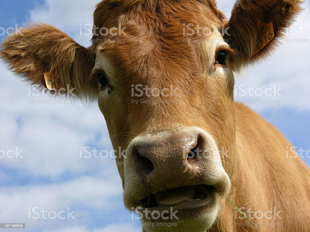 Cow with tongue hanging out stock photo