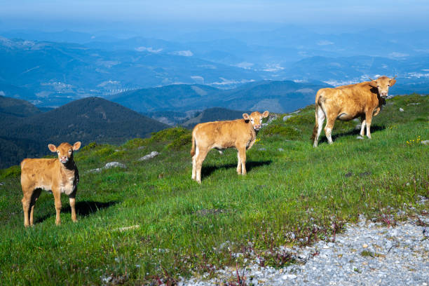 A cow with two calves in Oiz mountain, Basque Country, Spain stock photo