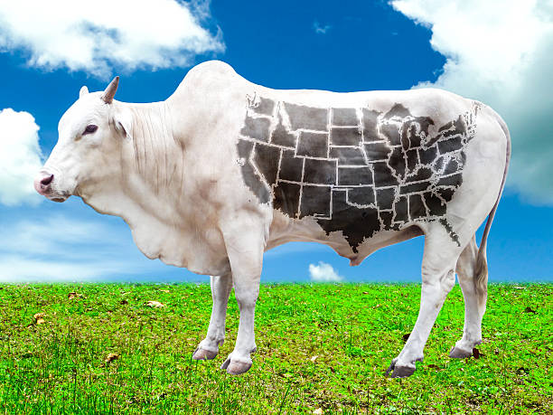 cow with USA map in the field stock photo