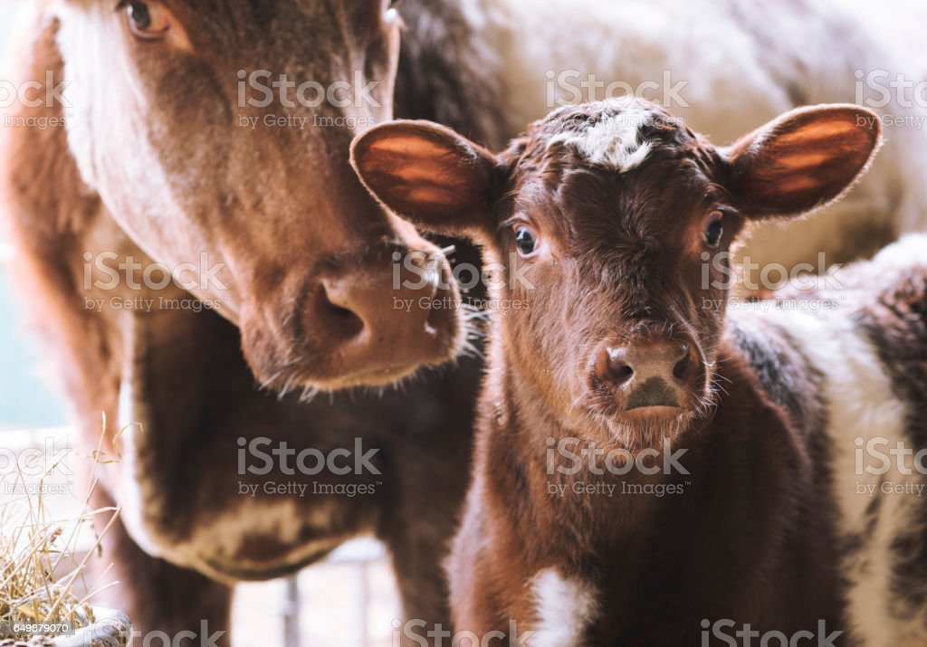 Cow with young calf on farm stock photo
