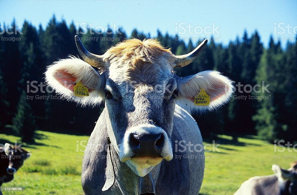 Cow_01 royalty-free stock photo