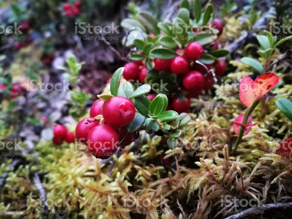 Cowberry in a forest stock photo