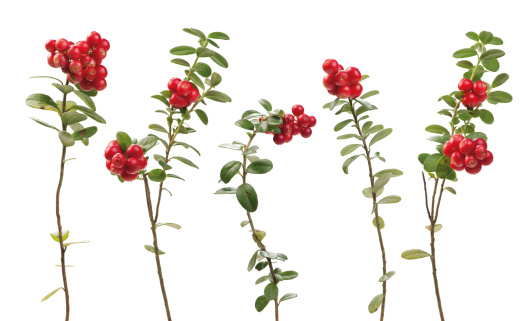 Cowberry twigs