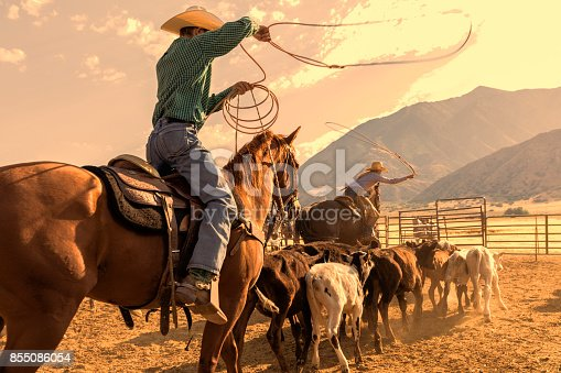 Cowboy and cowgirl herd calves in order to rope one and brand it in the early morning
