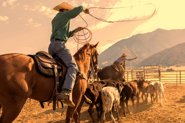 Cowboy and cowgirl herd calves in order to rope one and brand it in the early morning stock photo