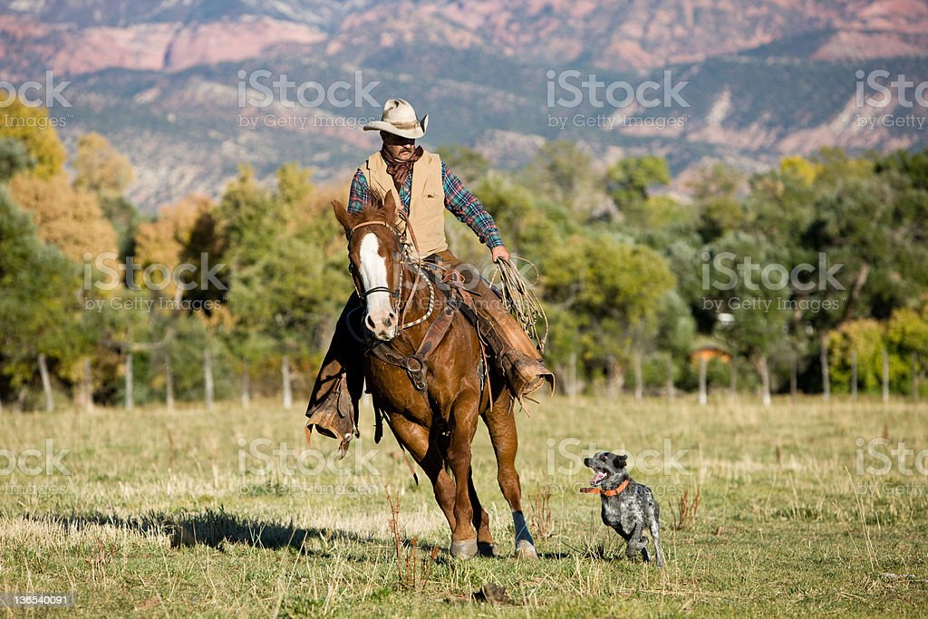 Cowboy and Dog Herding Cattle stock photo