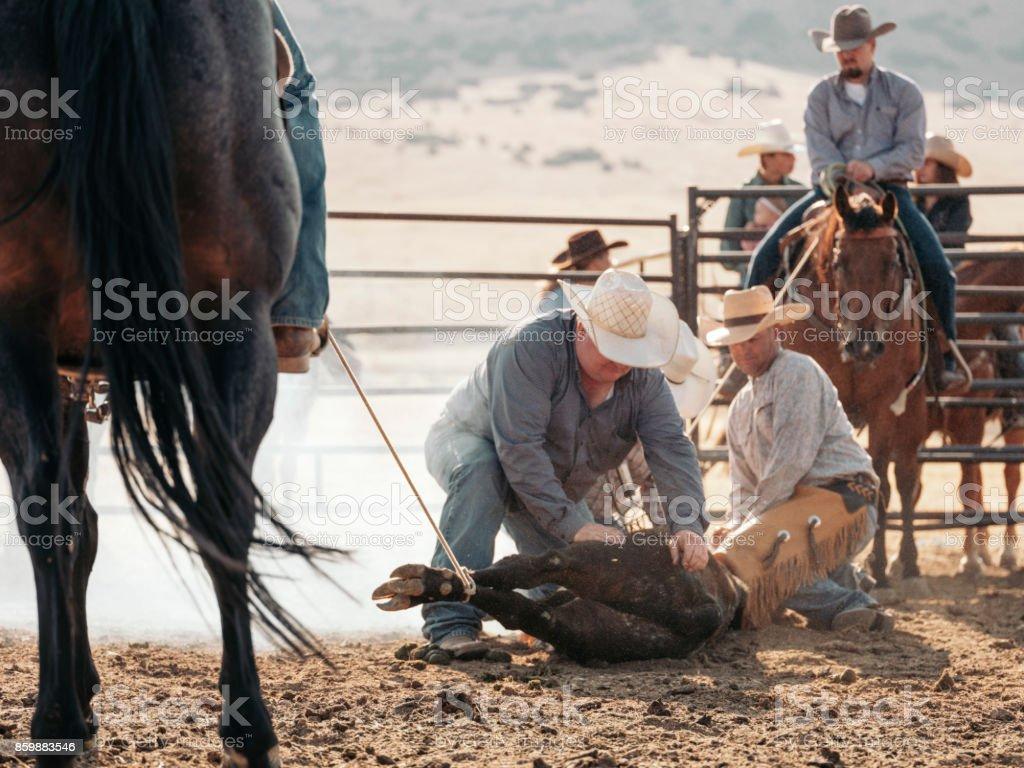 Cowboy Cattle Branding Operation stock photo