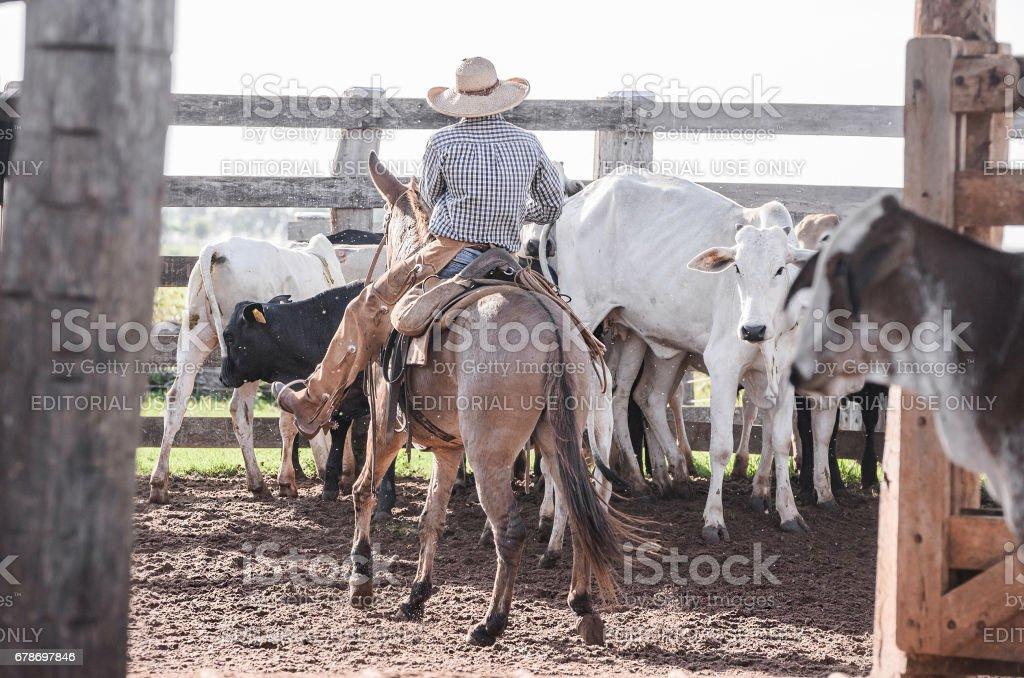 Vaqueiro, dirigir o gado no curral da fazenda - foto de acervo