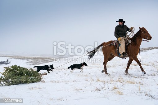 Caucasian man in black  jacket, cowboy hat, leather chaps, cowboy boots and gloves is dragging a Christmas pine tree through the snow during a snow storm across the mountains while riding his quarter horse, Livingston, Montana, USA