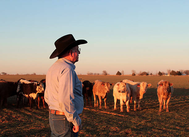 A cowboy farmer and rancher herding cattle in a field stock photo