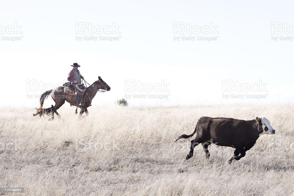 Cowboy Herding Angus Cattle on Open Range stock photo