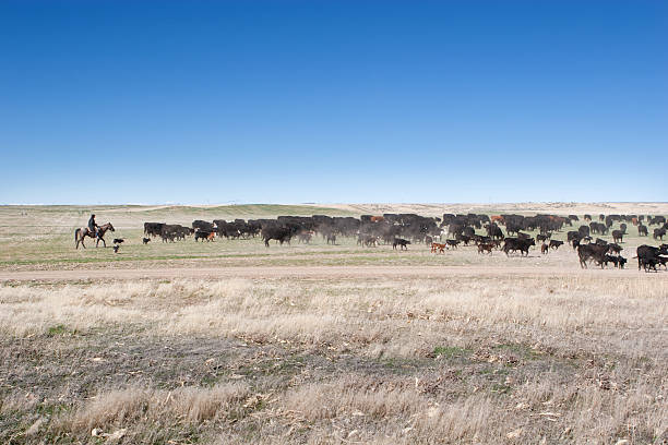 Cowboy Herding Angus Cattle on Open Range Working cowboy on horse herding Angus cattle across open range. paint horse stock pictures, royalty-free photos & images