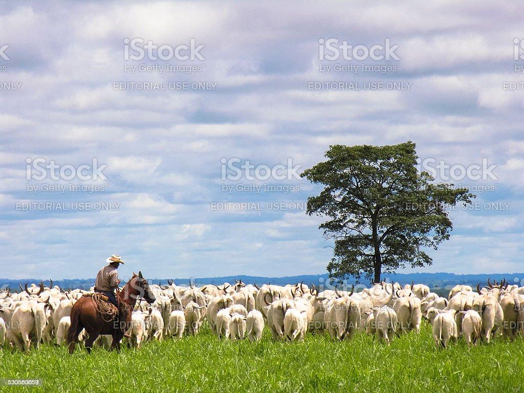 cowboy herding cattle stock photo