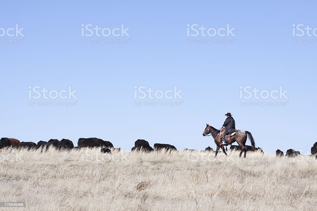 Cowboy Herding of Angus Cattle on Open Range stock photo