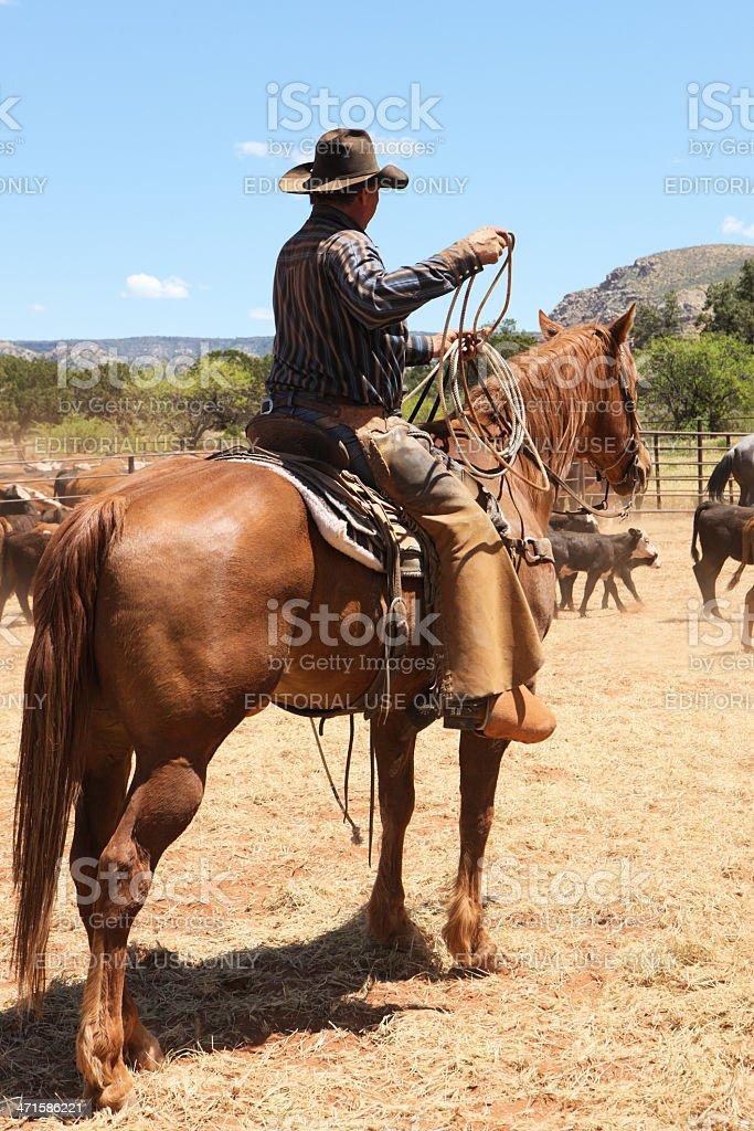 Cowboy Horseback Lasso Cattle Herd stock photo