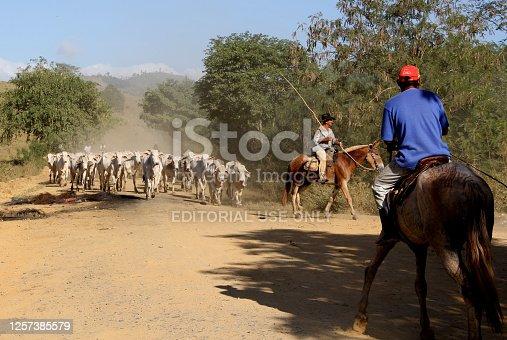 pau brasil, bahia / brazil - april 17, 2012: cowboy leads the cattle on a farm in the rural area of the municipality of Pau Brasil, in southern Bahia.