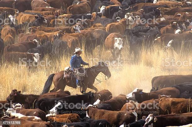 Cowboy on horse during cattle roundup picture id477413769?b=1&k=6&m=477413769&s=612x612&h=3knqjajhesl4vn 0pspntfvkmczigcu55zxo3medags=