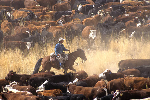 Cowboy on Horse During Cattle Roundup A cowboy on a horse surrounded by livestock during a cattle drive ranch stock pictures, royalty-free photos & images